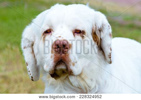 Clumber Spaniel Full Face Portrait. The Clumber Spaniel Stands On The Grass In The Park.