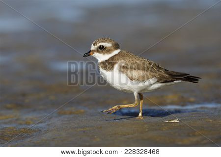 Semipalmated Plover (charadrius Semipalmatus) Foraging On A Gulf Of Mexico Beach - Crystal River, Fl