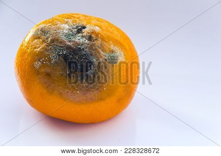 Citrus Fruit Is Rotten. Spoiled Mandarin With A Mold On A White Background. Copy Space. Close-up.