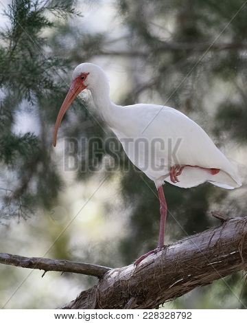 White Ibis (eudocimus Albus) Perched In A Tree - Homosassa, Florida