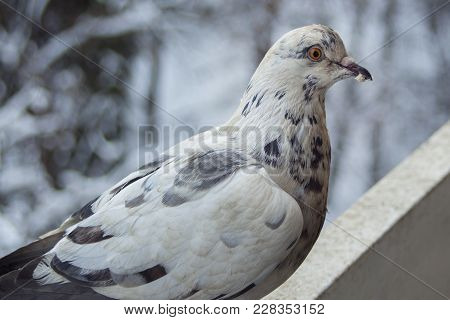 A White Pigeon With Beautiful Colored Feathers And A Crumb In The Beak. On The Balcony, On A Winter