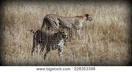 A Couple Of Cheetahs In The Wild Sabana