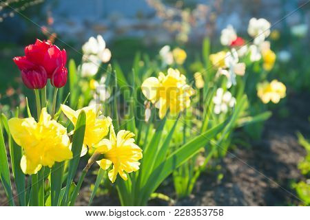 Spring Flowers Daffodils And Tulips Flowering In Garden On A Flower Bed. Spring Landscape With Bloom