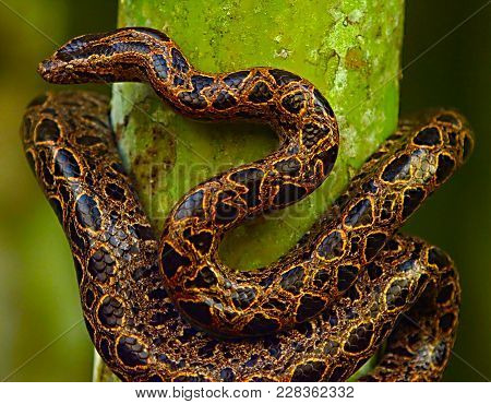 Snake On The Tree Trunk. Boa Constrictor Snake In The Wild Nature, Belize. Wildlife Scene From Centr