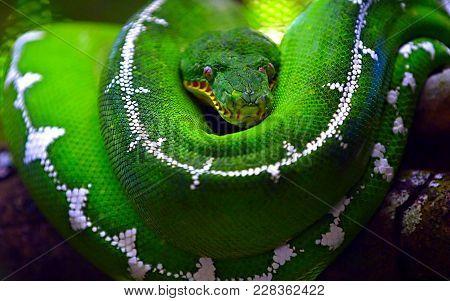 Green Tree Python Morelia Viridis. Young Green Snake Folded