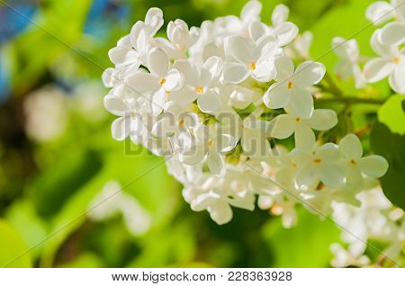 Lilac Flowers, Spring Flower Background With Spring White Lilac Flowers Blooming In The Spring Garde