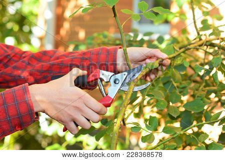 Gardener With Garden Pruning Scissors Pruning Climbing Roses . Pruning And Training Climbing Roses W