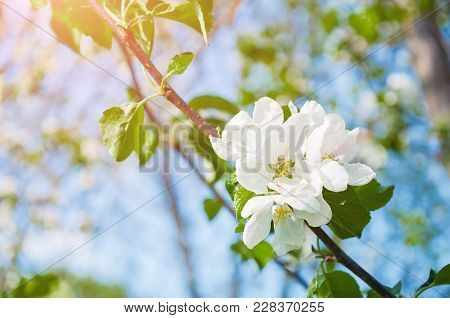 Spring Flowers Of Blooming Apple Tree. Natural Spring Flower Landscape. Spring Flowers Of Blooming S