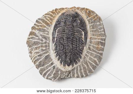 Trilobites On White Background. A Fossil Group Of Extinct Marine Arachnomorph Arthropods That Form T