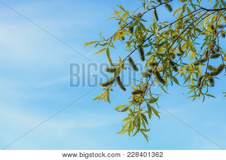 Nature, Pollen, Allergy Concept. Tree Branches With Leaves, Blooming Flowers, Clear Blue Sky In Back