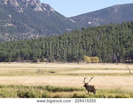 Rocky Mountain National Park In Autumn.  A Bull Elk In Rut, Bugles For Cows.