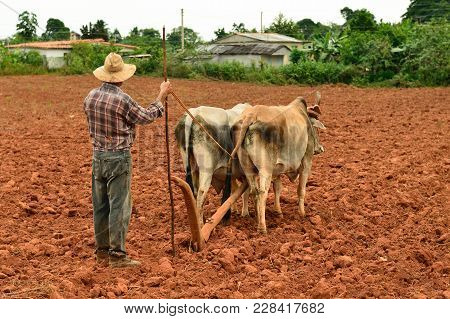 Cuban Farmer With Oxen, Valley De Vinales, Cuba, Pinar Del Rio Province