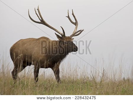 Close Up Image Of A Large, Bull Elk In Rut