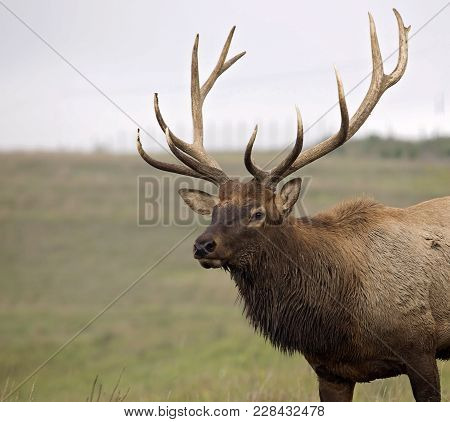 Close Up Head And Shoulders Image Of A Bull Elk During Rut