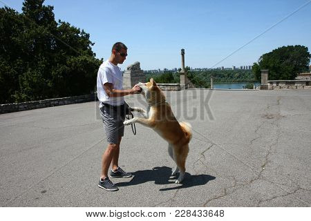 Akita Inu Puppy Taking The Biscuit From Its Owner