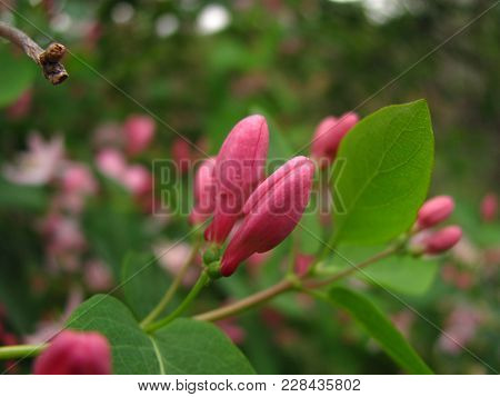 Pink Honeysuckle Buds And Green Leaves Close Up