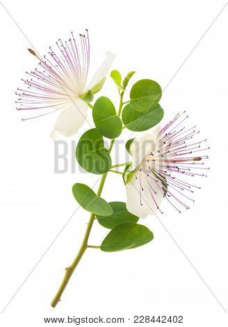 Caper Branch With Flowers Isolated On White