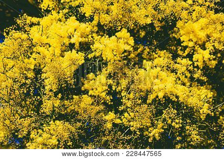 Wattle Tree With Typical Yellow Flowers In Full Bloom