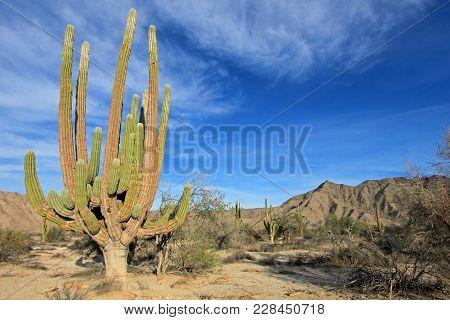 Large Elephant Cardon Cactus Or Cactus Pachycereus Pringlei, Also Known As The Mexican Giant Cardon