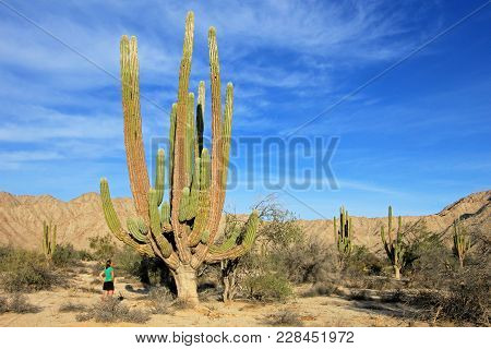 A Woman Demonstrates The Incredible Height Of The Large Elephant Cardon Cactus Or Cactus Pachycereus