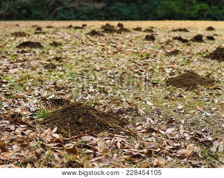 Molehills Spread Out Across A Field. Small Mountains Of Molehill Dirt From Tunneling Moles On An Oth