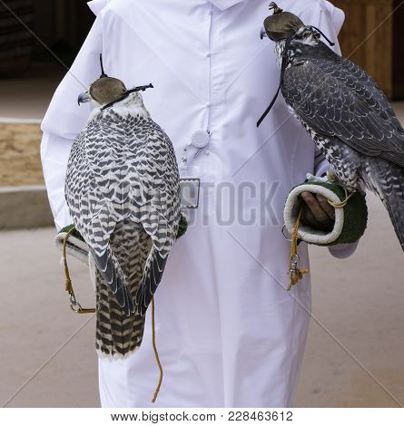 Arabian Falcon With Head Cover As Old Method