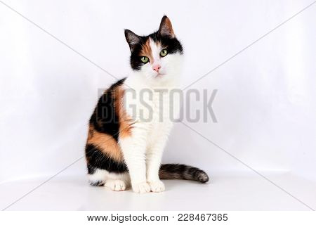 Beautiful Tricolored Cat Is Sitting In The Studio