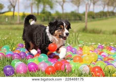 Tricolored Border Collie Puppy Is Walking In Colorful Balls In The Garden