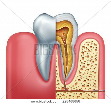 Human Tooth Anatomy Dentistry Medical Concept As A Cross Section Of A Molar With Nerves And Root Can