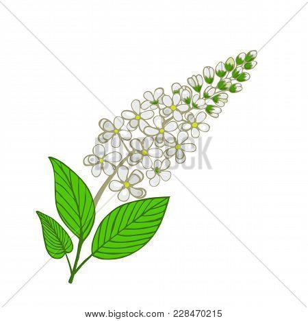 Flowers Of Mayday Tree. Inflorescence Of Panus Padus Or Bird Cherry Tree. Vector