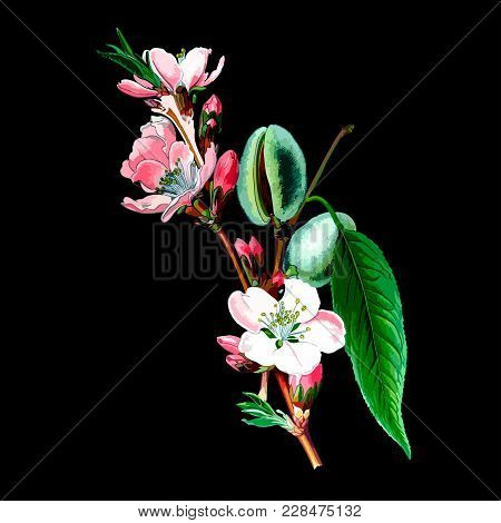 Vector Floral Illustration With Spring Blossom Almond Tree. Vintage Botanical Illustration For Card,