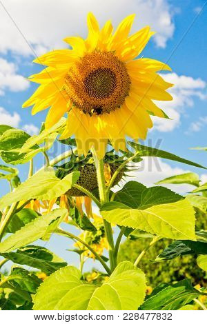 Colorful Sunflower And Blue Sky