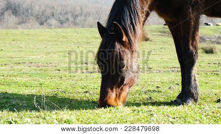 Dark Brown Horse Stallion With Black Mane Chews Grass In A Sunny Day, 4k