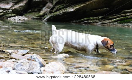 A Small Dog Jack Russell Terrier Comes Into The Water After A Stone, A Dog Walks In The Canyon Psaho