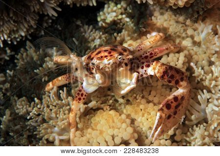 Oshimai Porcelain Crab (aka Anemone Porcelain Crab, Neopetrolisthes Oshimai) Filtering The Water For