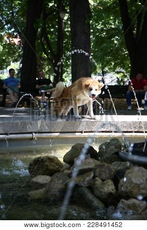 Thirsty Akita Inu Drinking Water In Public Park