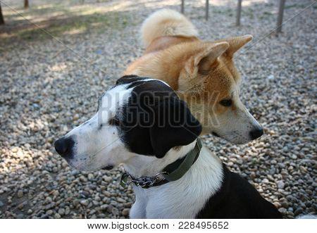 Portrait Of Akita Inu And Beautiful Mongrel Dog