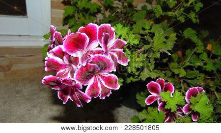 Una Planta Rosa Encontrada En Un Ambiento Fresco.