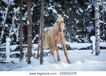Young Palomino Horse On The Farm At Winter Day