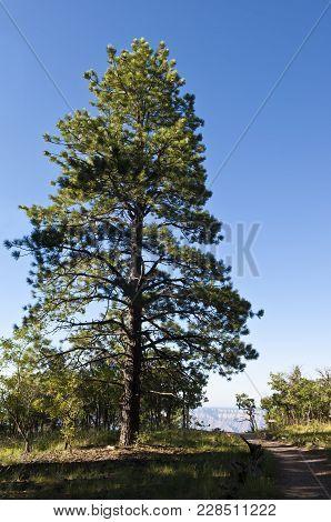 Grand Canyon Pine