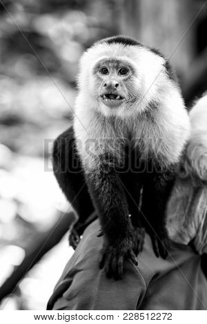 Capuchin Monkey Sitting On Male Shoulder In Honduras On Sunny Summer Day On Natural Blurred Backgrou
