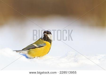 Yellow Bird On White Snow, Wildlife, Winter Animals