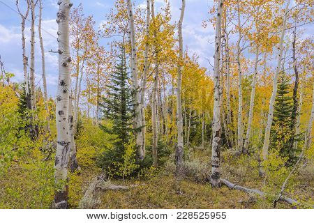 Landscape Photo Taken Of Aspen Turning Colors During The Fall On Top Of Coffee Pot Rd, Colorado