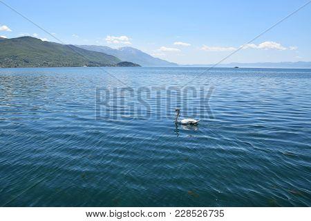 Swan Swimming In Ohrid Lake. Ohrid, Macedonia.