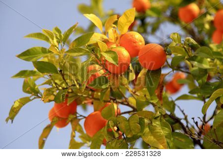 Branches With The Orange Fruits On The Tree On Blue Sky Background. Ripe Orange Fruits On The Tree,