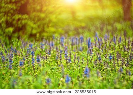Thymus Serpyllum Breckland Thyme Wild Thyme Or Creeping Thyme