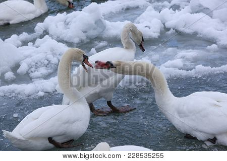 Mute Swans In A Cold, Snowy Blue River During Winter