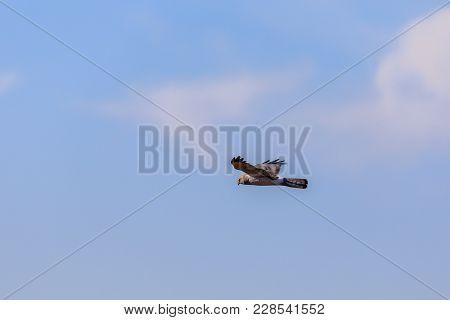 A Northern Harrier Soars In The Sky Of The Plains Near Clinton, Oklahoma, January 2018