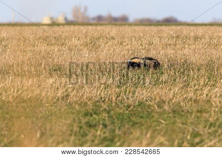A Skunk Forrages For Food In The Plains Of Oklahoma, January 2018