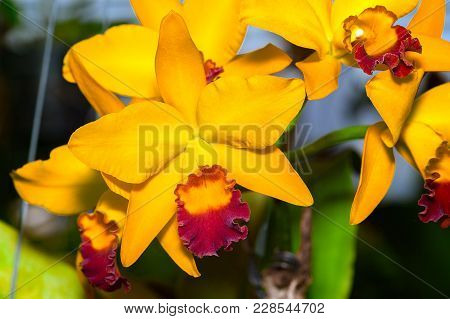 Cattleya Jomthong Dellight Is An Orangey Yellow Orchid. The Flower Has Yellow And Purple-red Lip. Th